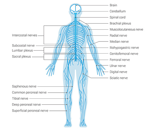 nervous system - Thrive Family Chiropractic in Urbandale